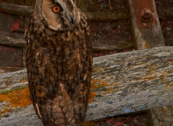 Long-Eared-Owl-copyright-photographers-on-safari-com-6063