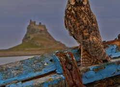 Long-Eared-Owl-copyright-photographers-on-safari-com-6065