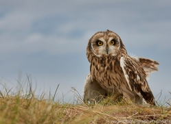 Short-Eared-Owl-copyright-photographers-on-safari-com-6068