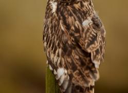 Short-Eared-Owl-copyright-photographers-on-safari-com-6071