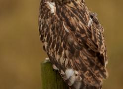 Short-Eared-Owl-copyright-photographers-on-safari-com-6072