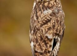Short-Eared-Owl-copyright-photographers-on-safari-com-6073