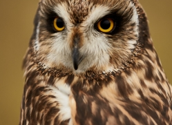 Short-Eared-Owl-copyright-photographers-on-safari-com-6074