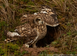 Short-Eared-Owl-copyright-photographers-on-safari-com-6075
