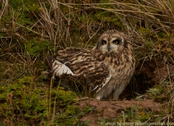 Short-Eared-Owl-copyright-photographers-on-safari-com-6076