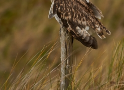 Short-Eared-Owl-copyright-photographers-on-safari-com-6078