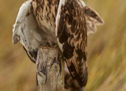 Short-Eared-Owl-copyright-photographers-on-safari-com-6080