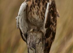 Short-Eared-Owl-copyright-photographers-on-safari-com-6081