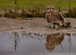 Short-Eared-Owl-copyright-photographers-on-safari-com-6084