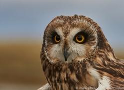 Short-Eared-Owl-copyright-photographers-on-safari-com-6085