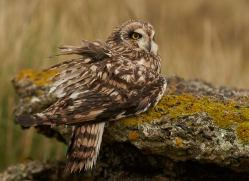 Short-Eared-Owl-copyright-photographers-on-safari-com-6086