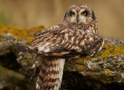 Short-Eared-Owl-copyright-photographers-on-safari-com-6087