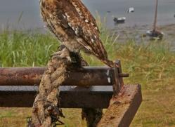 Tawny-Owl-copyright-photographers-on-safari-com-6093