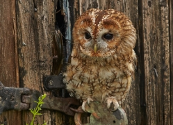 Tawny-Owl-copyright-photographers-on-safari-com-6097