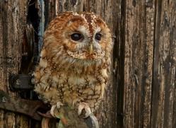 Tawny-Owl-copyright-photographers-on-safari-com-6098
