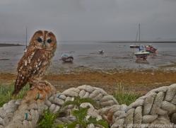 Tawny-Owl-copyright-photographers-on-safari-com-6100