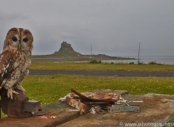 Tawny-Owl-copyright-photographers-on-safari-com-6101