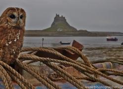 Tawny-Owl-copyright-photographers-on-safari-com-6107