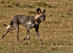 african-wild-dog-masai-mara-1682-copyright-photographers-on-safari-com