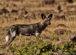 african-wild-dog-masai-mara-1684-copyright-photographers-on-safari-com