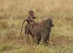 baboon-masai-mara-1705-copyright-photographers-on-safari-com