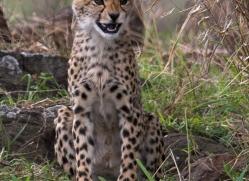 cheetah-masai-mara-1518-copyright-photographers-on-safari-com