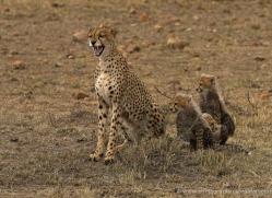 cheetah-masai-mara-1521-copyright-photographers-on-safari-com