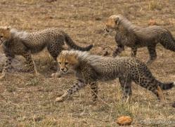 cheetah-masai-mara-1522-copyright-photographers-on-safari-com