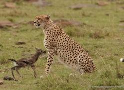 cheetah-masai-mara-1523-copyright-photographers-on-safari-com
