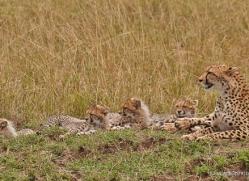 cheetah-masai-mara-1526-copyright-photographers-on-safari-com