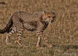cheetah-masai-mara-1532-copyright-photographers-on-safari-com