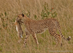 cheetah-masai-mara-1534-copyright-photographers-on-safari-com