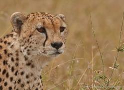 cheetah-masai-mara-1538-copyright-photographers-on-safari-com