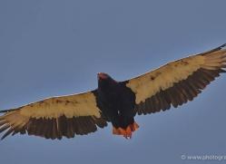 bateleur-eagle-masai-mara-1681-copyright-photographers-on-safari-com