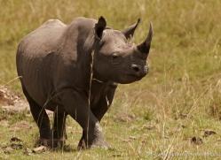 black-rhino-masai-mara-1645-copyright-photographers-on-safari-com