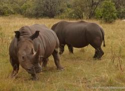 black-rhino-masai-mara-1646-copyright-photographers-on-safari-com
