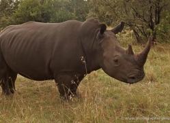black-rhino-masai-mara-1647-copyright-photographers-on-safari-com