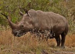 black-rhino-masai-mara-1648-copyright-photographers-on-safari-com