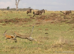 cheetah-masai-mara-1519-copyright-photographers-on-safari-com