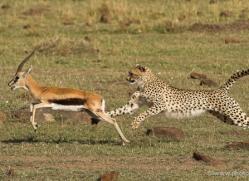 cheetah-masai-mara-1520-copyright-photographers-on-safari-com