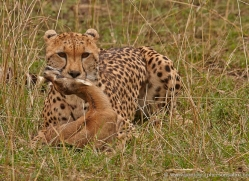 cheetah-masai-mara-1528-copyright-photographers-on-safari-com