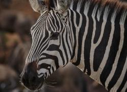 zebra-masai-mara-1633-copyright-photographers-on-safari-com
