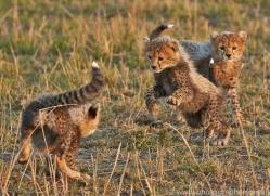 Cheetah 2014-11copyright-photographers-on-safari-com