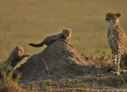 Cheetah 2014-12copyright-photographers-on-safari-com