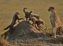Cheetah 2014-13copyright-photographers-on-safari-com