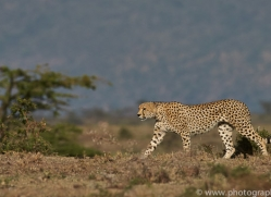 Cheetah 2014-16copyright-photographers-on-safari-com