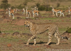 Cheetah 2014-17copyright-photographers-on-safari-com