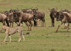 Cheetah 2014-18copyright-photographers-on-safari-com