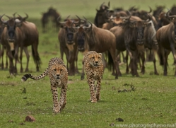 Cheetah 2014-21copyright-photographers-on-safari-com