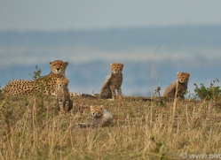 Cheetah 2014-22copyright-photographers-on-safari-com